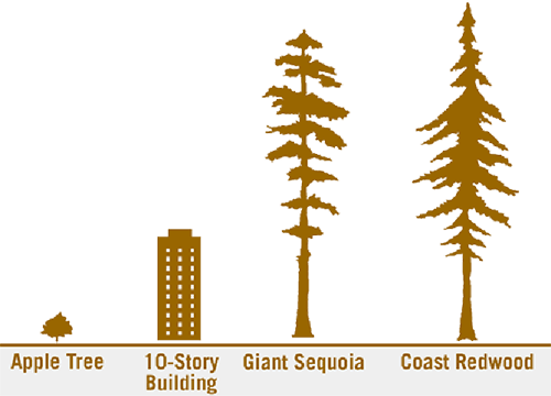 size compared to 300+ year old Redwood Tree